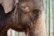 Drogos elefánt