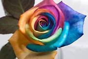 Boldog rózsák