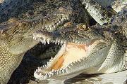 A PETA a Hermés krokodilfarmjai ellen tiltakozik