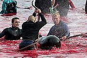 Bálnavadászat Dániában