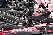 Brutális felvételek a dán bálnavadászatról