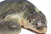 Több ezer teknőst eresztenek a Mexikói-öbölbe
