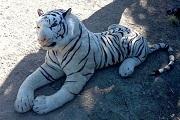 Plüss tigris miatt riadóztatták a rendőrséget